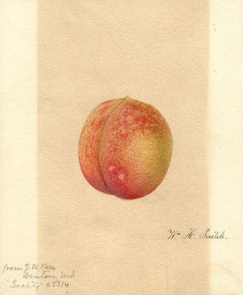 Art Prints of Quality Peach by William Henry Prestele