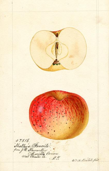 Art Prints of Shelley's Favorite Apples by William Henry Prestele