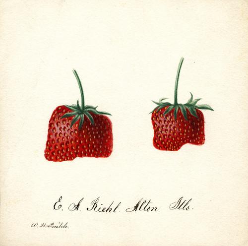 Art Prints of Strawberries I by William Henry Prestele