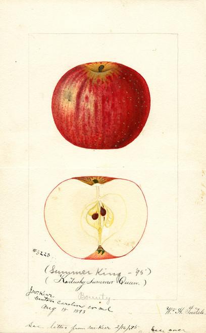 Art Prints of Summer King Apples by William Henry Prestele