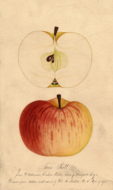 Art Prints of Tom Putt Apples by William Henry Prestele