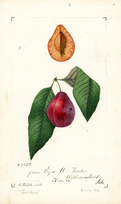 Art Prints of Tucker Plums by William Henry Prestele