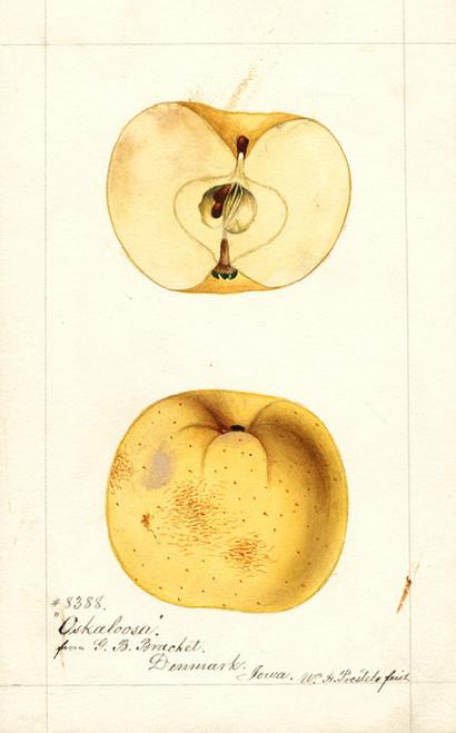 Art Prints of Oskaloosa Apples by William Henry Prestele