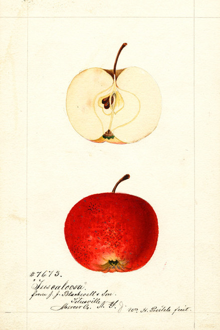 Art Prints of Tuscaloosa Apples by William Henry Prestele