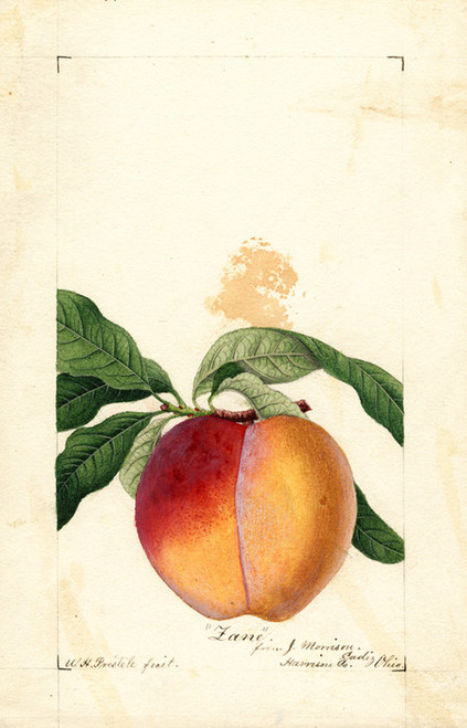 Art Prints of Zane Peach by William Henry Prestele