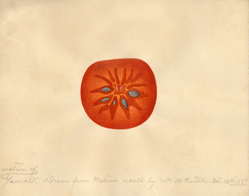 Art Prints of Yamato Persimmon I by William Henry Prestele