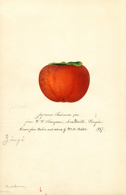 Art Prints of Zengi Persimmon V by William Henry Prestele