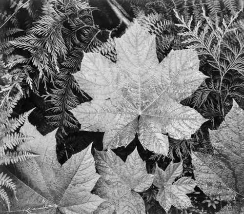 Art prints of Close-up of leaves, Glacier National Park, Montana