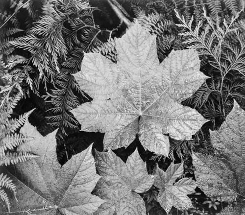 Art prints of Close-up of leaves, Glacier National Park, Montana