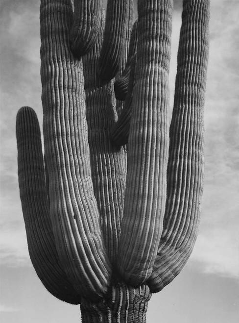Art prints of Detail of cactus, Saguaros, Saguro National Monument, Arizona
