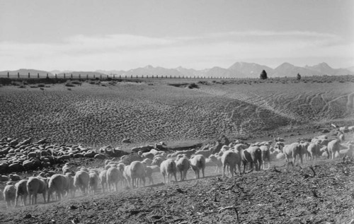 Art prints of Flock in Owens Valley, California, 1941 by Ansel Adams