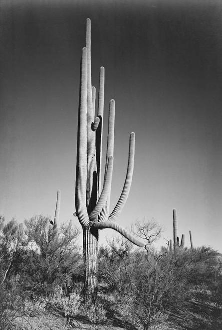 Art prints of Full view of cactus and surrounding shrubs, In Saguaro National Monument, Arizona