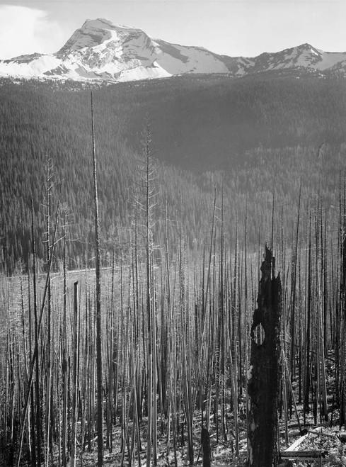Art prints of Pine trees, Burned area, Glacier National Park, Montana by Ansel Adams