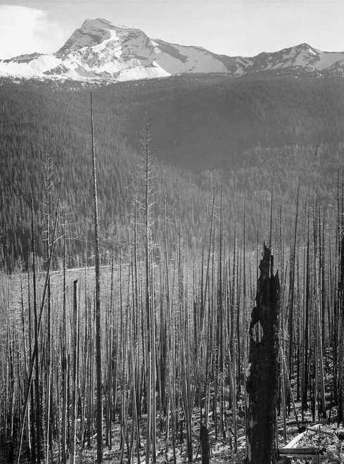 Art prints of Pine trees, Burned area, Glacier National Park, Montana by Ansel Adams