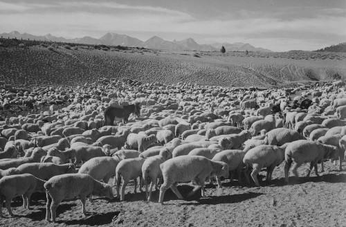 Art prints of Sheep, Flock in Owens Valley, 1941 by Ansel Adams