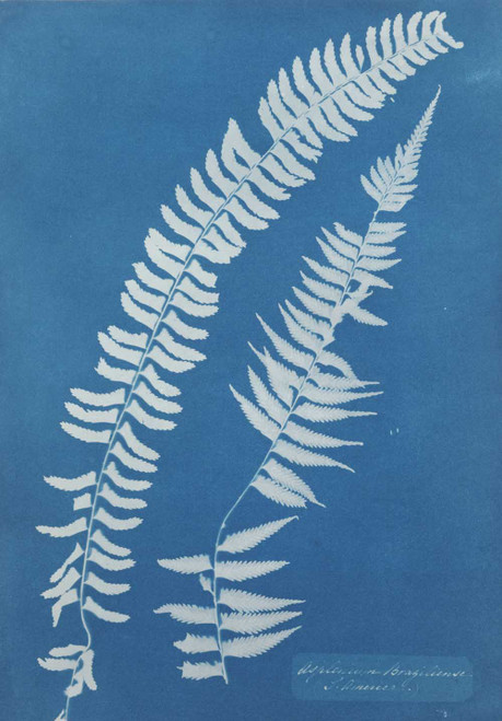 Art prints of Asplenium Braziliense by Anna Atkins