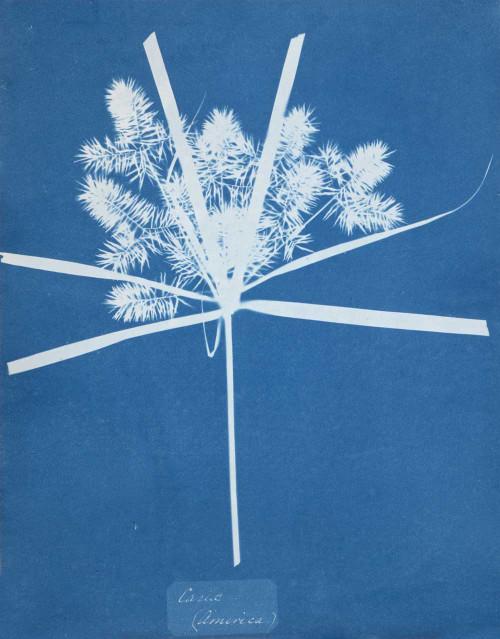 Art prints of Carix by Anna Atkins