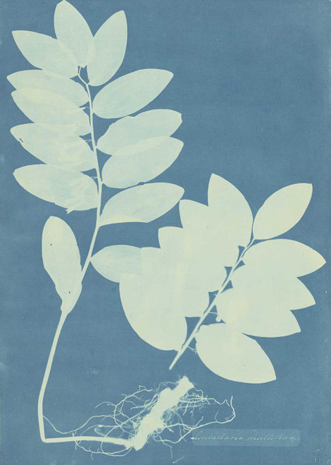 Art prints of Convalaria Multiflora by Anna Atkins