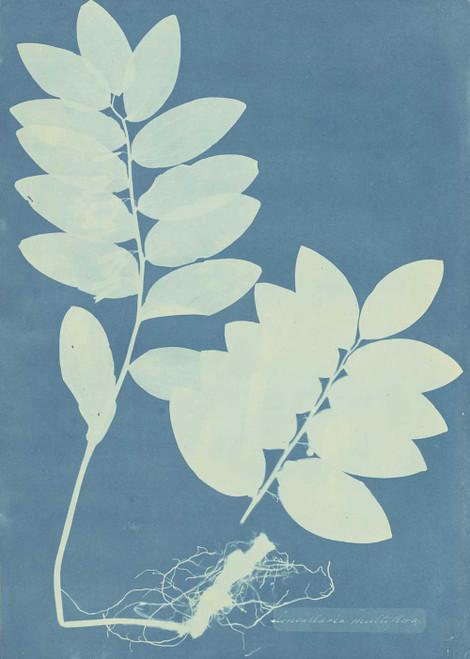 Art prints of Convalaria Multiflora by Anna Atkins