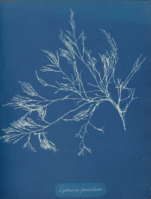 Art prints of Cystoseira faeniculacea by Anna Atkins
