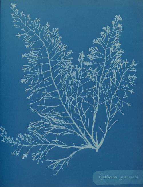 Art prints of Cystoseira granulata by Anna Atkins