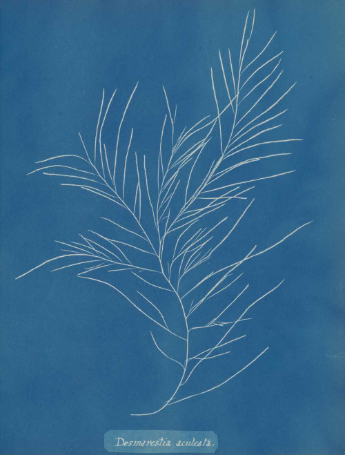 Art prints of Desmarestia aculeata by Anna Atkins