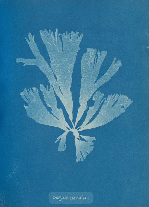 Art prints of Dictyota atomaria II or Woodward by Anna Atkins