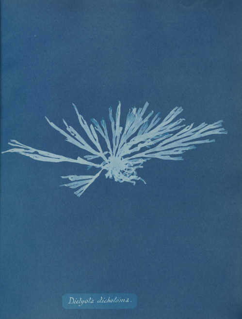 Art prints of Dictyota dichotoma or Forkweed by Anna Atkins