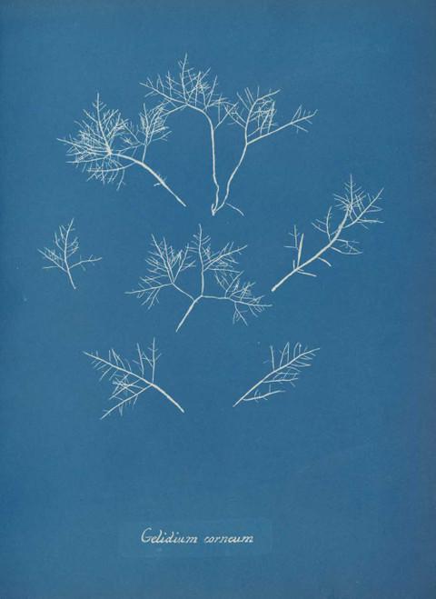 Art prints of Gelidium corneum or Hudson by Anna Atkins