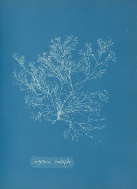 Art prints of Griffithsia multifida or Hudson by Anna Atkins