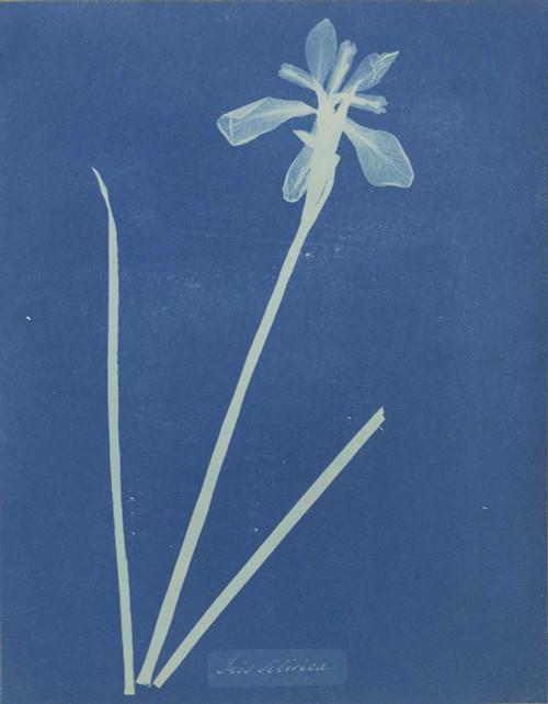 Art prints of Iris Sibirica or Siberian Iris by Anna Atkins