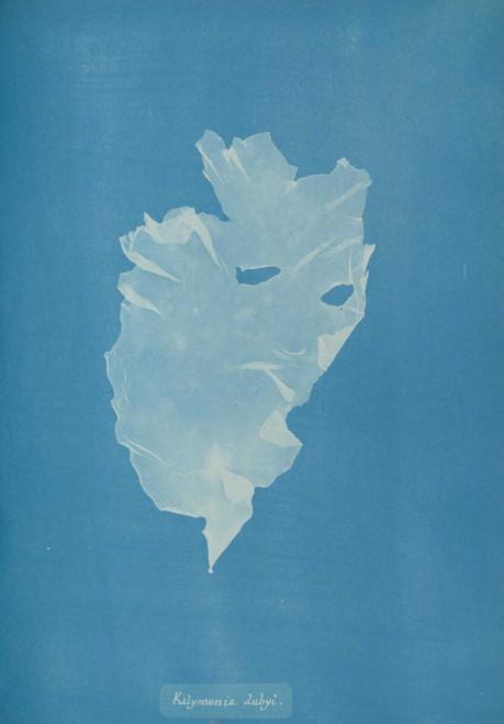 Art prints of Kalymenia dubyi by Anna Atkins