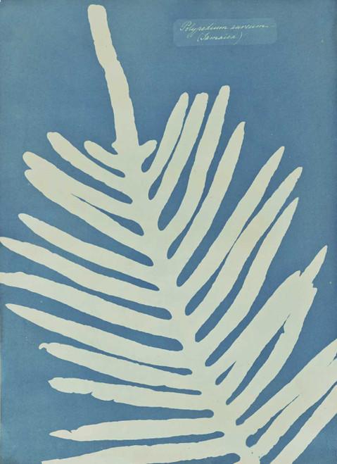 Art prints of Polypodium Aureum, Fern by Anna Atkins