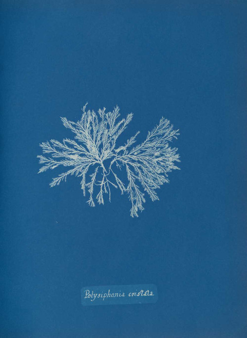 Art prints of Polysiphonia cristata by Anna Atkins