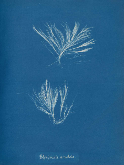 Art prints of Polysiphonia urceolata by Anna Atkins