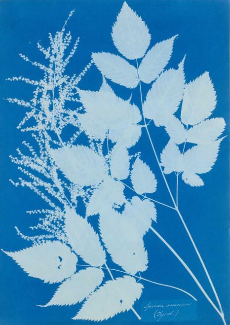 Art prints of Spiraea aruncus by Anna Atkins