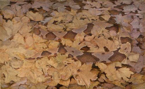 Art prints of Copperhead Snake on Dead Leaves by Abbott H. Thayer