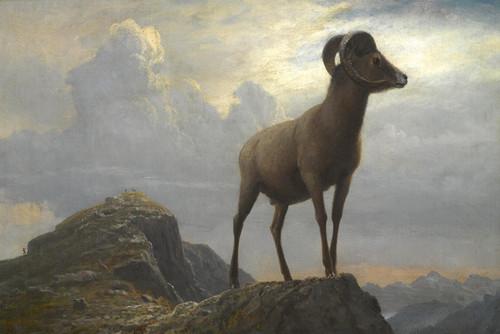 Art Prints of Study of a Big Horn Ram by Albert Bierstadt