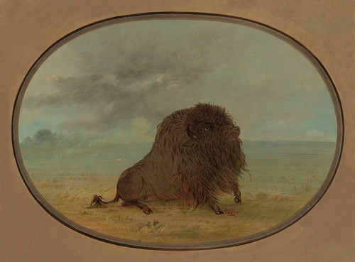 Dying Buffalo Bull by George Catlin | Fine Art Print