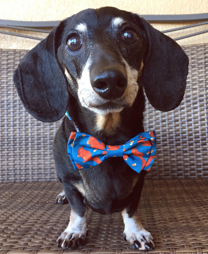 73d8824c3398 For Dachshunds - Bow Ties and Collar Blooms - Page 1 - What's Up Dox