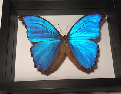 Morpho Didius Butterfly, Shadow Box, South America