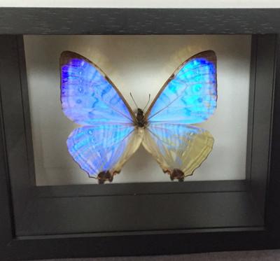 LIght Pearl Morpho Butterfly Shadow Box, Peru
