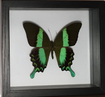 Papilio Blumei Butterfly Shadow Box, Indonesia
