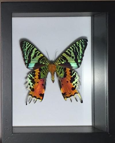 Urania Ripheus Butterfly Shadow Box, Madagascar