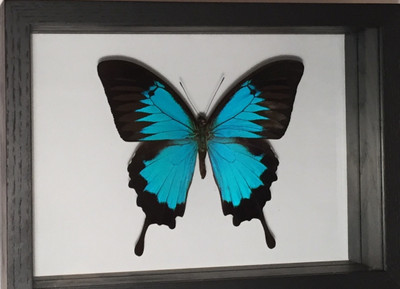 Papilio Ulysses (Blue Mountain) Butterfly Shadow Box - Indonesia
