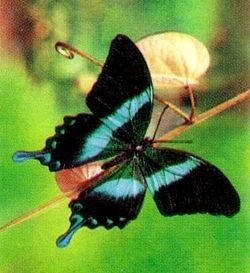 250px-papilio-blumei-1993-indonesia-stamp-crop.jpg