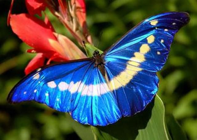 blue-morpho-helena.jpg