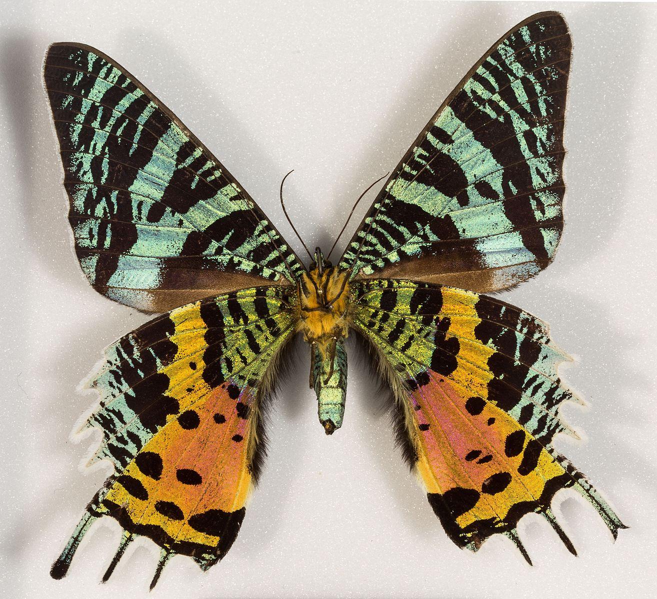 chrysiridia-rhipheus-female-ur1-.jpg