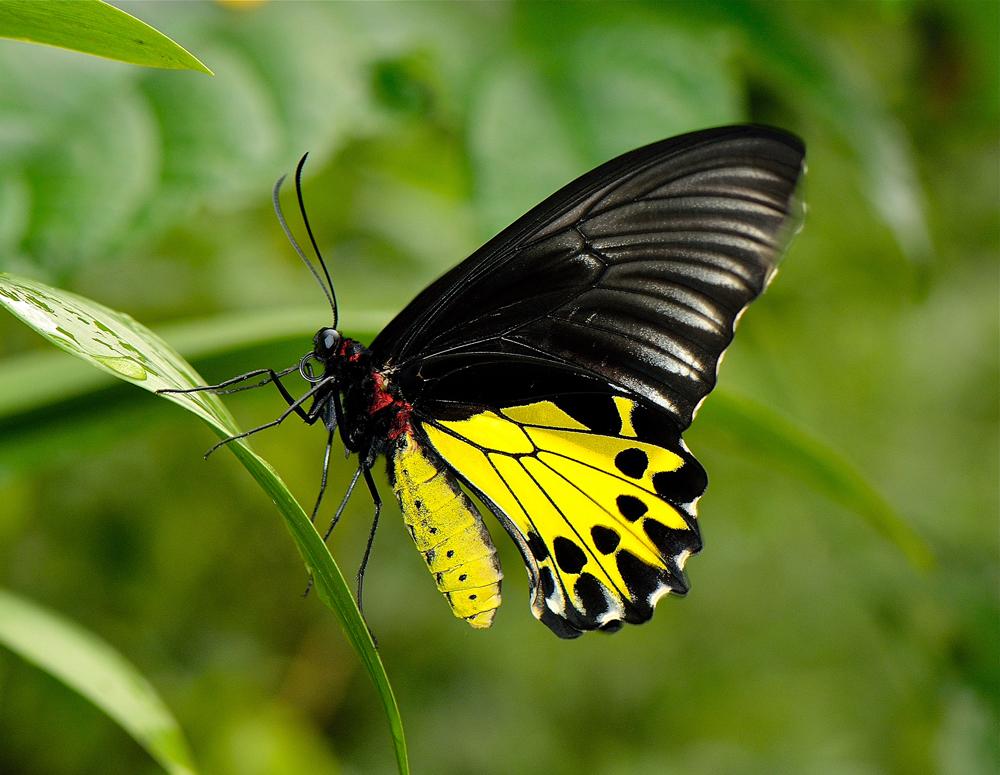 common-birdwing-1st-main.jpg
