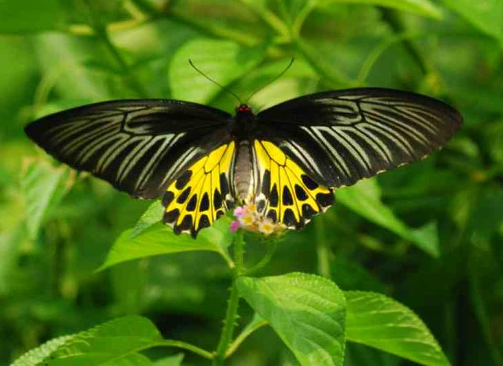 common-birdwing.jpg